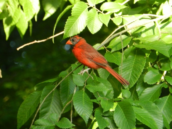 Another cardinal?