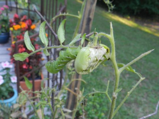 Tomato hornworms...ugh!