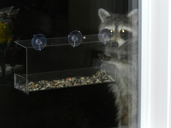 "This raccoon (whom I've named ""Murphy"") loves him some bird seed :)"