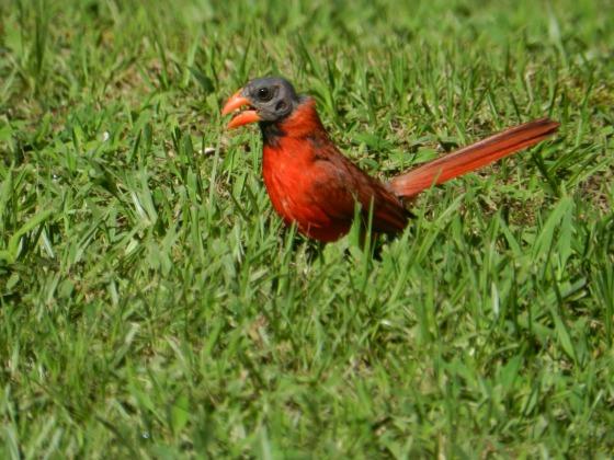 Cardinal?