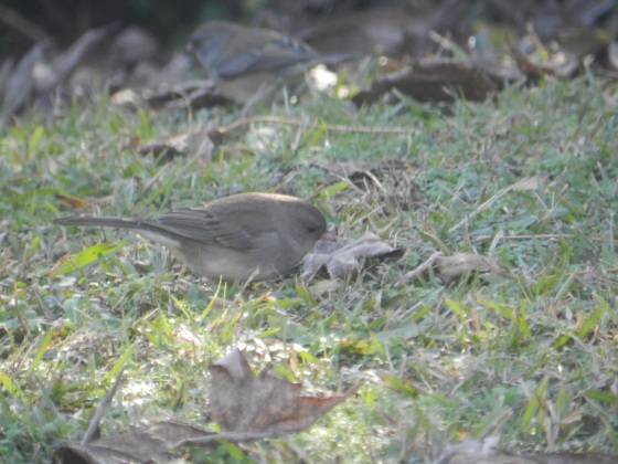 Is this a Dark-Eyed Junco?