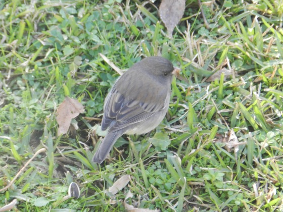 Dark-Eyed Junco?