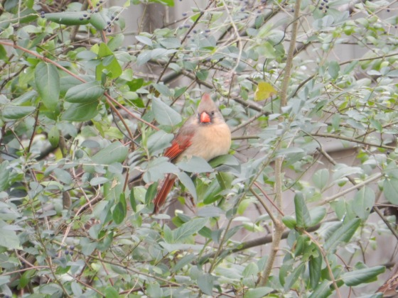 Female Cardinal in Tree