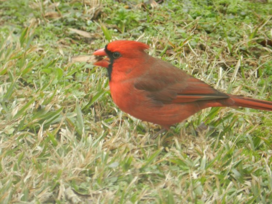 Cardinal with Sunflower Seed