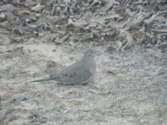 Unknown (Dove?)