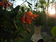 Red honeysuckle