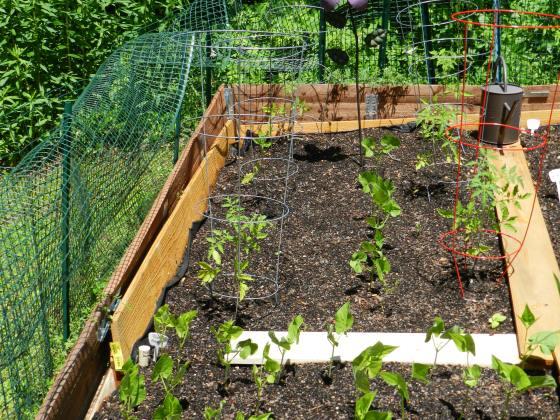 Tomatoes, Ground Cherries, and Bush Beans