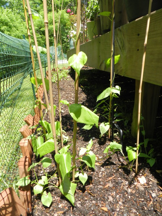 Morning Glories climbing up some bamboo