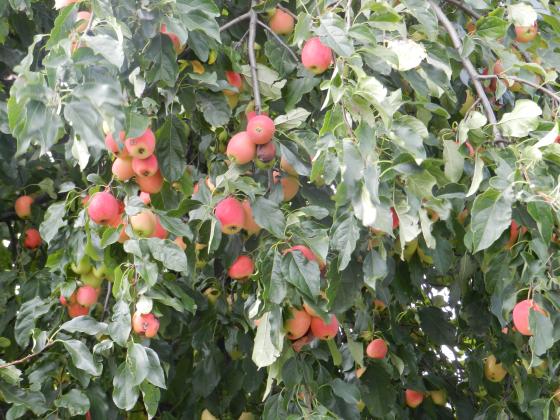 blog-orchard2